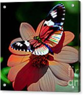 Butterfly Dont Fly Away Acrylic Print