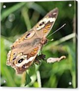 Butterfly Eyes Acrylic Print