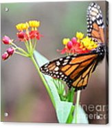Butterfly Flower - Gossamer Wings Embrace Candy Blossoms Acrylic Print