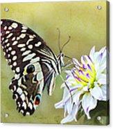 Butterfly Food At Dahlia Flower Acrylic Print