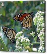 Butterfly Garden - Monarchs 01 Acrylic Print