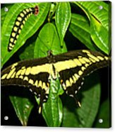 Butterfly Generations Acrylic Print