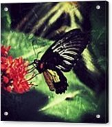 Butterfly Grunge Acrylic Print