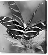 Butterfly In Motion Acrylic Print