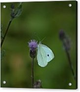Butterfly In White 2 Acrylic Print