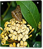 Butterfly Ins 17-1 Acrylic Print