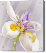 Butterfly Iris Acrylic Print