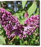 Butterfly Lilac Acrylic Print