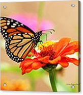 Butterfly Lunch Acrylic Print by Lorna Rogers Photography