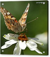 Butterfly Macro Photography Acrylic Print