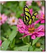 Butterfly On A Flower Acrylic Print
