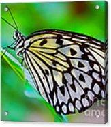 Butterfly On A Leaf Acrylic Print