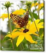 Butterfly On Blackeyed Susan Acrylic Print
