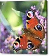 Butterfly On Buddleia Acrylic Print