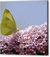 Butterfly On Buddleia Acrylic Print