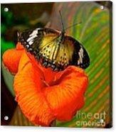 Butterfly On Canna Flower Acrylic Print