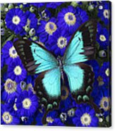 Butterfly On Cineraria Acrylic Print
