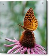 Butterfly On Cornflower Acrylic Print