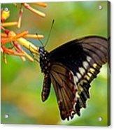 Butterfly On Firebush Acrylic Print
