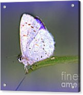 Butterfly On Grass Acrylic Print