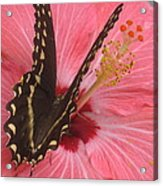 Butterfly On Hibiscus Acrylic Print