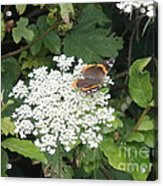 Butterfly On Lace Acrylic Print