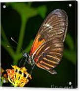 Butterfly On Orange Bloom Acrylic Print