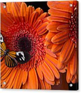 Butterfly On Orange Mums Acrylic Print by Garry Gay