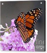 Butterfly On Phlox Acrylic Print