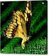 Butterfly On Pine Acrylic Print