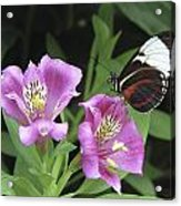 Butterfly On Pink Lillies Acrylic Print