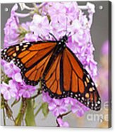 Butterfly On Pink Phlox Acrylic Print