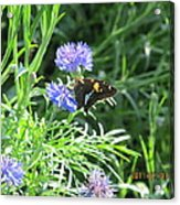 Butterfly On Purple Flower Acrylic Print