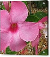 butterfly on the Mandevilla Acrylic Print
