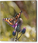Butterfly On Tistle Sep Acrylic Print