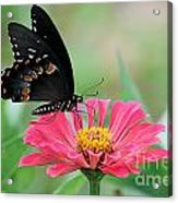 Butterfly On Zinnia Acrylic Print