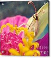 Butterfly On Zinnia Acrylic Print