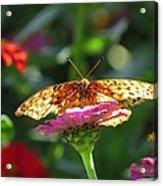 Fritillary Butterfly On Zinnia Acrylic Print