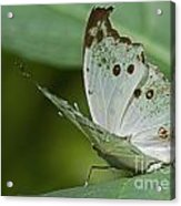Butterfly Ready For Take Off Acrylic Print