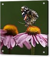 Butterfly Red Admiral On Echinacea Acrylic Print