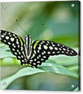 Butterfly Resting Color Acrylic Print