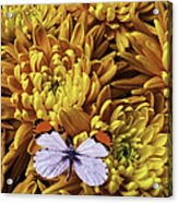 Butterfly Resting On Mums Acrylic Print