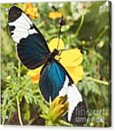 Butterfly Sara Longwing Acrylic Print