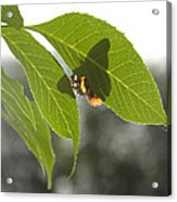 Butterfly Shadow Acrylic Print