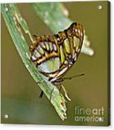 Butterfly Siproeta Stelenes Acrylic Print