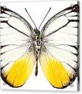 Butterfly Species Cepora Judith  Acrylic Print