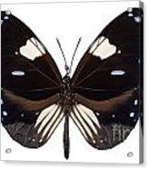Butterfly Species Euploea Radamanthus Common Name Magpie Crow Acrylic Print