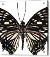 Butterfly Species Euripus Nyctelius Euploeoides  Acrylic Print