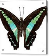 Butterfly Species Graphium Sarpedon Acrylic Print