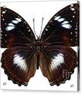 Butterfly Species Hypolimnas Bolina  Acrylic Print
